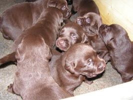 Foto 4 Labrador Welpe