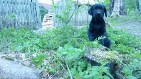 Labrador Welpe schwarz Rüde 8 Wochen