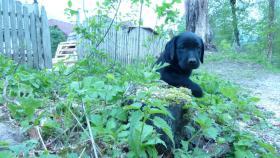Foto 2 Labrador Welpe schwarz Rüde 8 Wochen