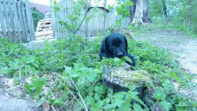 Foto 3 Labrador Welpe schwarz Rüde 8 Wochen