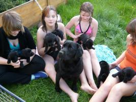 Foto 2 Labrador Welpen