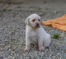 Foto 2 Labrador Welpen!