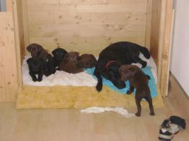 Foto 2 Labrador-Welpen