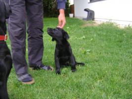 Foto 3 Labrador-Welpen