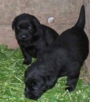 Labrador-Welpen