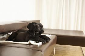 Foto 3 Labrador Welpen