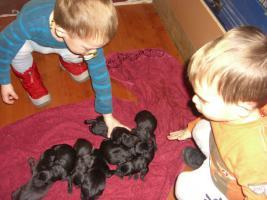 Labrador Welpen ARbeitslinie in schwarz!