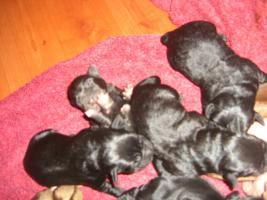 Foto 2 Labrador Welpen ARbeitslinie in schwarz!
