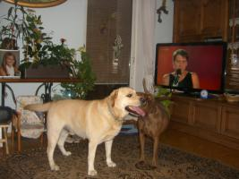 Foto 6 Labrador Welpen ARbeitslinie in schwarz!
