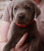 Labrador Welpen aus Familienzucht!