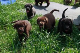 Foto 2 Labrador Welpen aus Familienzucht!
