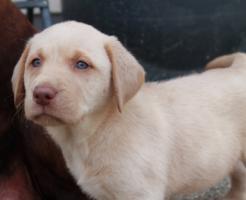 Foto 3 Labrador Welpen aus Familienzucht!