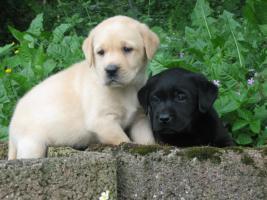 Labrador Welpen aus Familienzucht !