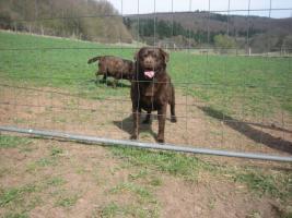 Foto 2 Labrador Welpen aus Familienzucht !