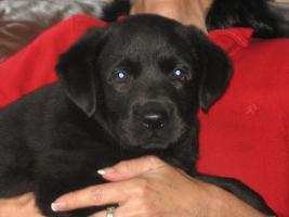 Foto 3 Labrador Welpen aus Familienzucht !