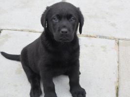Labrador Welpen in den Farben schwarz und schokobraun