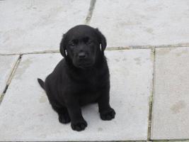 Foto 2 Labrador Welpen in den Farben schwarz und schokobraun