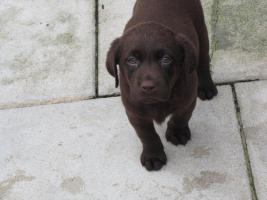 Foto 3 Labrador Welpen in den Farben schwarz und schokobraun