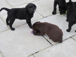 Foto 4 Labrador Welpen in den Farben schwarz und schokobraun