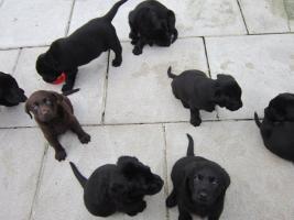 Foto 5 Labrador Welpen in den Farben schwarz und schokobraun