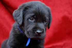 Foto 4 Labrador Welpen aus dem Hundeparadies im Salzkammergut