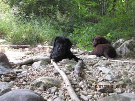 Labrador Welpen aus �sterreichischer Familienzucht
