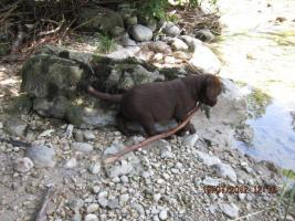 Foto 2 Labrador Welpen aus �sterreichischer Familienzucht