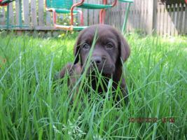 Foto 3 Labrador Welpen aus �sterreichischer Familienzucht