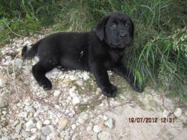 Foto 4 Labrador Welpen aus �sterreichischer Familienzucht