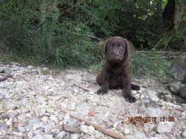 Foto 5 Labrador Welpen aus �sterreichischer Familienzucht