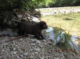 Foto 6 Labrador Welpen aus �sterreichischer Familienzucht