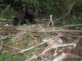Foto 7 Labrador Welpen aus �sterreichischer Familienzucht