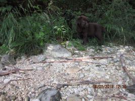 Foto 9 Labrador Welpen aus �sterreichischer Familienzucht