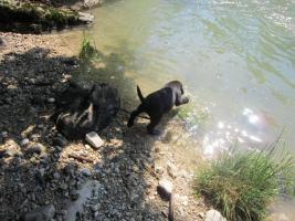 Foto 11 Labrador Welpen aus �sterreichischer Familienzucht