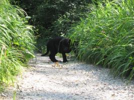 Foto 12 Labrador Welpen aus Österreichischer Familienzucht