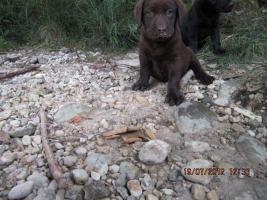 Foto 13 Labrador Welpen aus �sterreichischer Familienzucht
