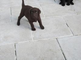 Foto 14 Labrador Welpen aus �sterreichischer Familienzucht