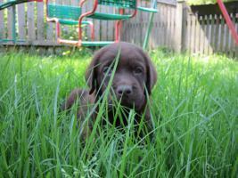 Foto 15 Labrador Welpen aus �sterreichischer Familienzucht