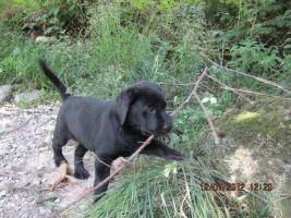 Foto 17 Labrador Welpen aus �sterreichischer Familienzucht