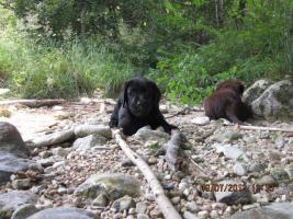 Foto 6 Labrador Welpen aus Österreichischer Familienzucht