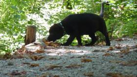 Foto 3 Labrador Welpen aus Österreichischer Familienzucht