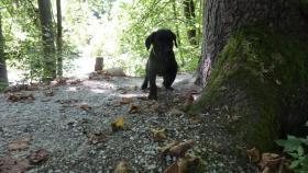 Foto 4 Labrador Welpen aus Österreichischer Familienzucht