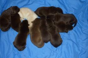 Foto 3 Labrador Welpen aus �sterreichischer Familienzucht !