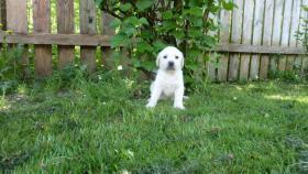 Labrador Welpen mit Papiere aus Österreichischer Familienzucht
