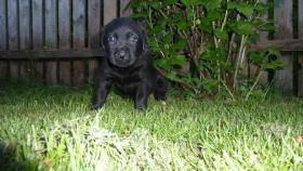 Foto 2 Labrador Welpen mit Papiere aus Österreichischer Familienzucht