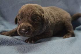 Labrador Welpen mit Papiere in charcoal, braun & schwarz