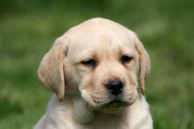 Labrador Welpen Rüden aus LCD Zucht seit 2005