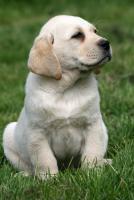 Foto 6 Labrador Welpen Rüden aus LCD Zucht seit 2005