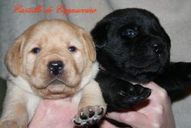 Labrador Welpen vom Züchter