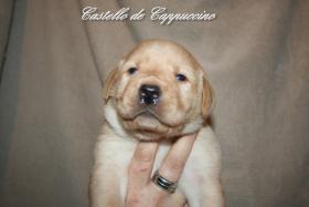 Foto 2 Labrador Welpen vom Züchter